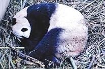 今年全球首胎熊猫宝宝诞生