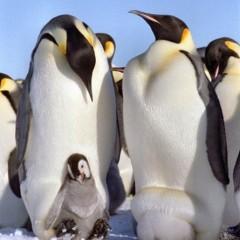 科学家预测全球暖化将导致南极帝企鹅数量大减
