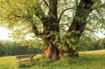 """树木适应气候变化 """"高糖""""更耐旱"""